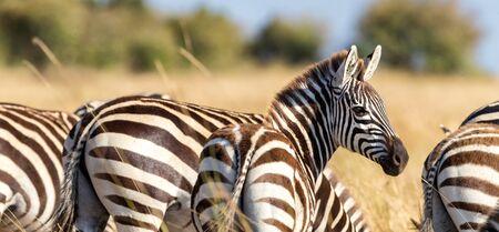 Burchells zebras in the sunshine of the Masai Mara, Kenya. Rear view, banner format.