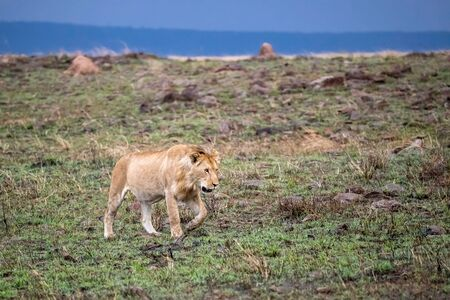 Juvenile male lion in evening light walking on a rocky hillside in the Masi Mara, Kenya