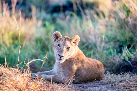 Lioness resting in the early morning sunlight of the. Masai Mara, Kenya