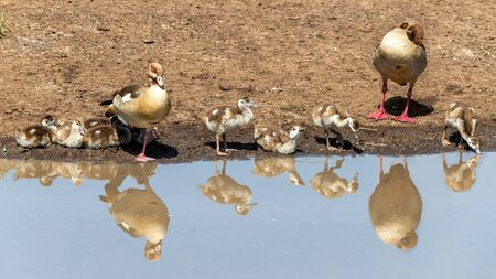 Family of Egyptian geese, Alopochen aegyptiaca, on the banks of a water hole in the Masai Mara, Kenya. Mirror reflection in the water.