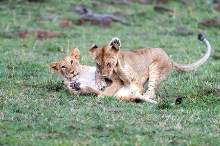 A pair of playful lion cub siblings in the Masai Mara. Kenya Archivio Fotografico