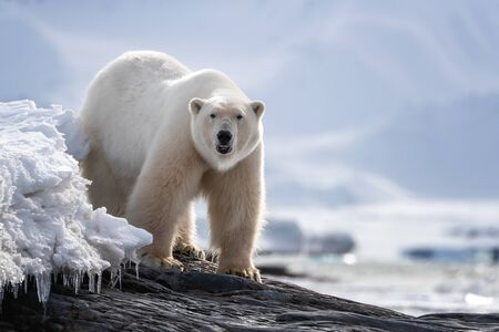 Beautiful adult male polar bear stands on a rocky ledge in the snow and ice of Svalbard, a Norwegian archipelago between mainland Norway and the North Pole.