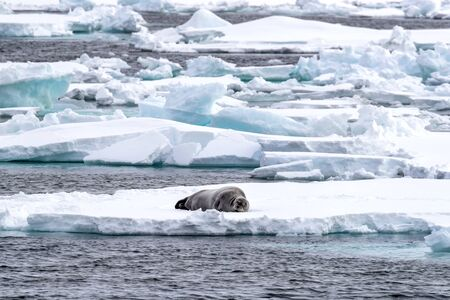 Adult bearded seal sleeps on an ice floe in Svalbard, a Norwegian archipelago between mainland Norway and the North Pole