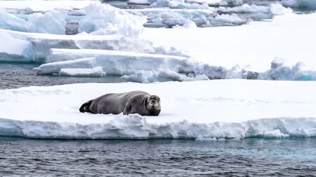 Alert adult bearded seal reclines on an ice floe in Svalbard, a Norwegian archipelago between mainland Norway and the North Pole 스톡 콘텐츠