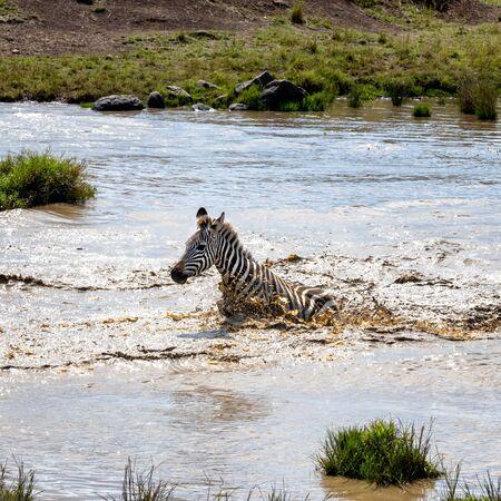 Common plains Zebra splashes in a water hole in the Masai Mara, Kenya.