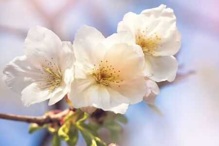 Beautiful pink cherry blossom closeup. Spring floral background with soft, retro style processing.