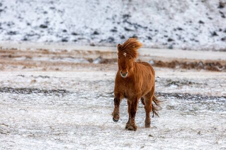 Chestnut Icelandic horse running across a frozen and snowy meadow. Winter in Iceland.