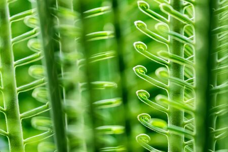 Curled green fronds of a sago palm leaf, Cycas revoluta. Close up detail in sunlight. Horizontal composition.