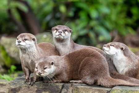 Group of four attentive Oriental small-clawed otters, Aonyx cinereus, against green foliage background.