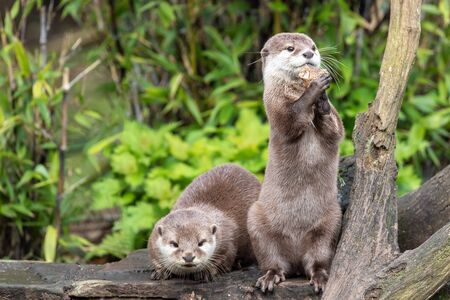 Two attentive Oriental small-clawed otters, Aonyx cinereus, one crouched and the other is upright on his hind legs. The upright otter is juggling with a stone. Against green bamboo and foliage background. 写真素材