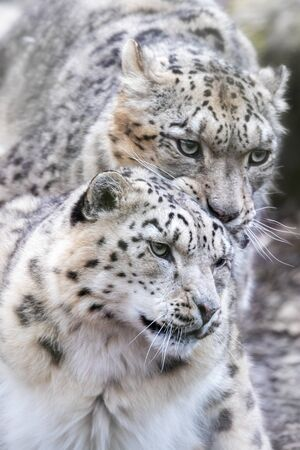 Male and female snow leopards, panthera uncia, mating pair. Closeup portfiat.