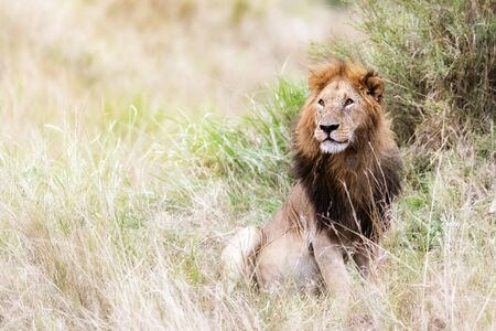 Young adult male lion sitting in the grasslands of the Masai Mara, Kenya Reklamní fotografie