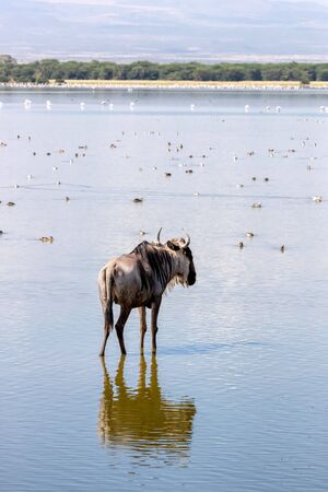A single white-bearded wildebeest, connochaetes taurinus, in the shallow waters of a lake in Amboseli National Park. A variety of birds such as Egyptian ducks and flamingos can be seen in the water. Stockfoto