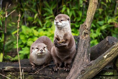Two attentive Oriental small-clawed otters, Aonyx cinereus, one crouched and the other is upright on his hind legs. The upright otter is holding a stone, which he will use to break shells and access food.