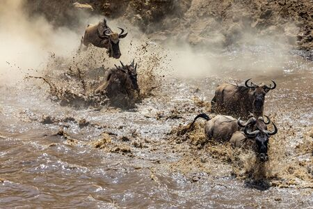 White-bearded Wildebeest crossing the Mara River during the annual Great Migration. About one and a half million wildebeest make this treacherous journey between Tanzania and Kenya each year Stok Fotoğraf