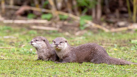 Oriental small-clawed otters, Aonyx cinereus, against green grass background. A semiaquatic mammal, indigenous to South and Southeast Asia, and the smallest otter in the world.