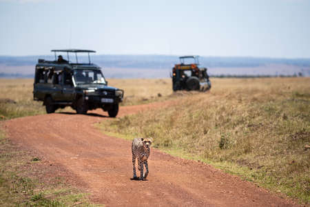 Young adult cheetah, Acinonyx jubatus, walks along a dirt track in the Masai Mara. Tourist vehicles are parked behind with unidentifiable tourists watching. 스톡 콘텐츠