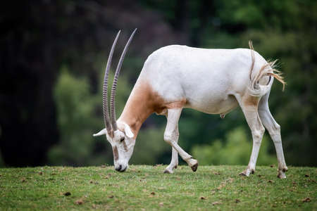 Scimitar-horned oryx, oryx dammah, grazing in a wildlife park. Extinct in the wild until recently, when captive breeding programs started to reintroduced animals to their natural habitat.