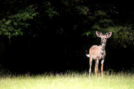Young lesser kudu, Tragelaphus imberbis, an east African forest antelope, in a clearing with dark background. Space for text.