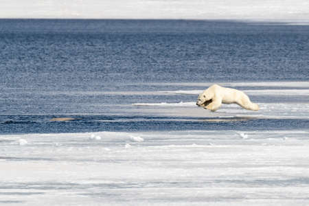 Young adult male polar bear, ursus maritimus, in mid air as he jumps from the fast ice into the Arctic ocean, having spotted a beluga whale in the water. 免版税图像