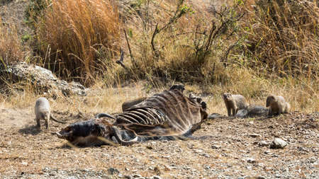 A group of banded-mongooses, Mungos mungo, scavenge for meat from a wildebeest carcass in the Masai Mara, Kenya.