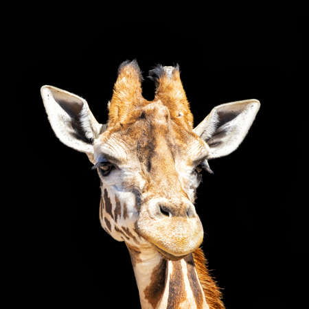 African giraffe head and face close up isolated on black background.