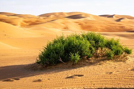Greenery in desert, a group of desert plant in Liwa desert Abu dhabi