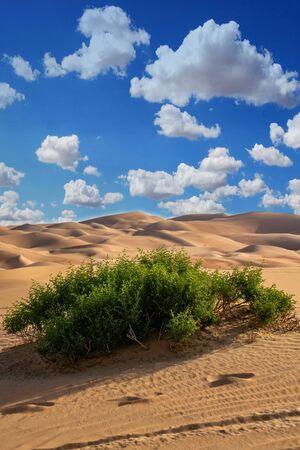 Greenery in desert, a group of desert plant in Liwa desert Abu dhabi 写真素材
