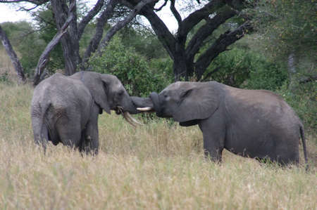 snuggling: Elephants snuggling
