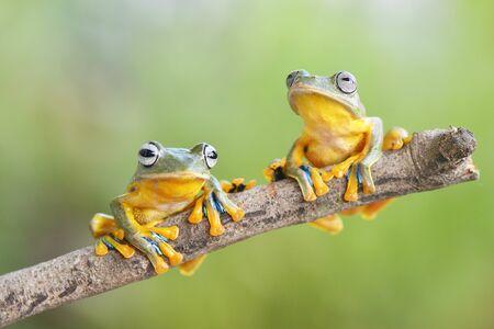 FLying frogs 免版税图像
