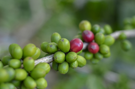 Aceh Coffee Beans Stock Photo