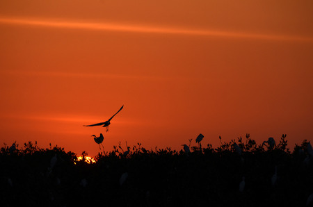 sunset view with Great Egret in Mangrove Forest Stock Photo