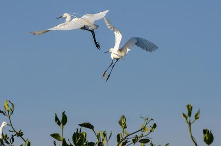 Great Egret in Mangrove Forest 版權商用圖片
