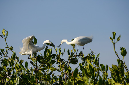 Great Egret in Mangrove Forest 版權商用圖片