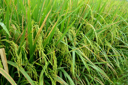 the Rice crop