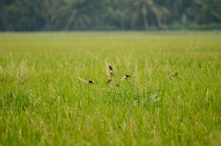 sparrow stretch of rice fields