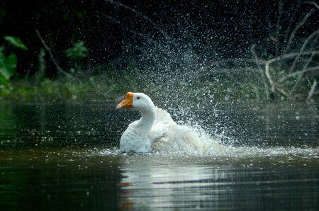 duck goose bathing