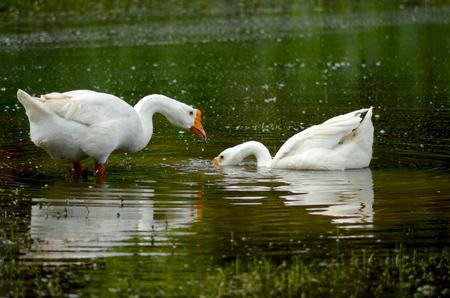 goose duck looking for food 版權商用圖片