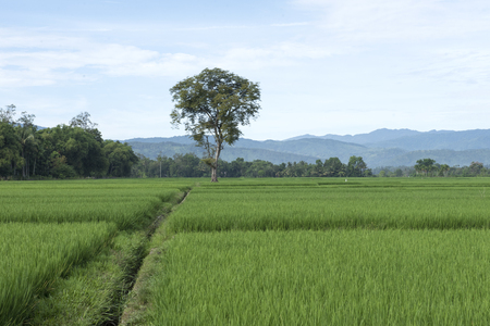 the beauty of rice fields in the village
