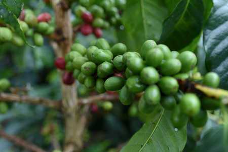 Arabica coffee beans are ready for harvest