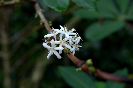 White flowers of Arabica coffee 版權商用圖片