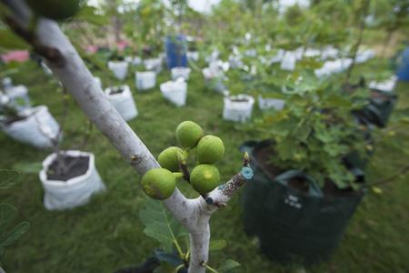 buah tin Figs in fig tree