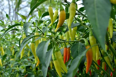 cayenne pepper grow on tree