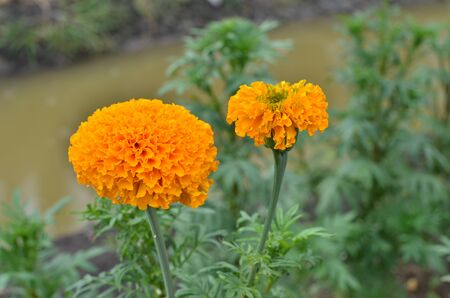 Yellow marigold leaves as an herbal medicine