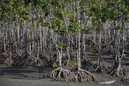 mangrove trees in Aceh Coastal area
