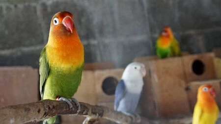 Lovebirds parrots in my cages Imagens