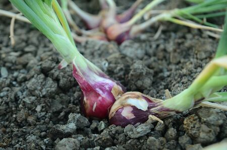 The Shallots from the gardeners