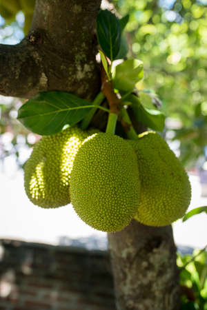 Jackfruit fruits in the yard with low stems Imagens