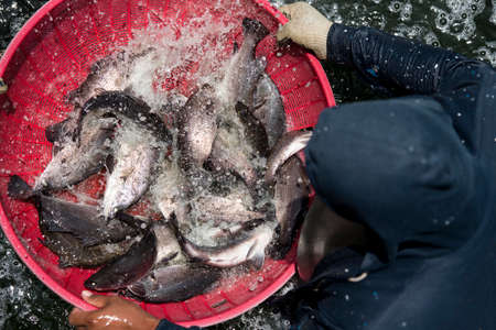 the harvest of white snapper is fishponded Imagens