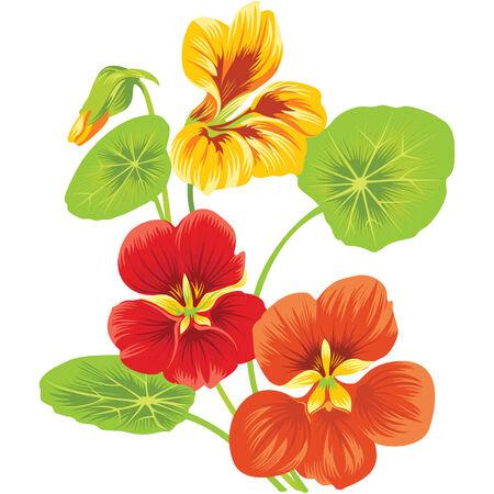 three flowers of nasturtium